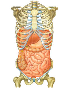 Visceral Treatment Abdomen_Anatomy