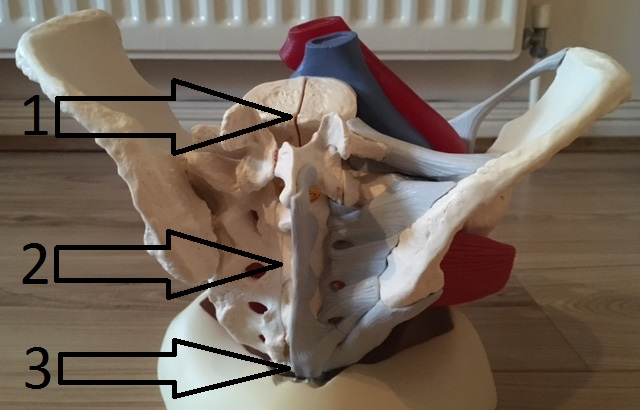 Pelvis Bone & Pelvic Floor muscles (posterior view)