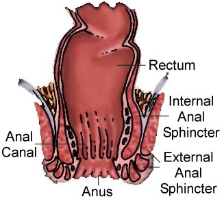 Rectum and anus anatomy