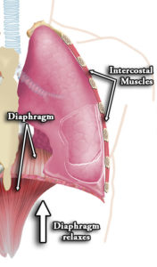 Ostéopathie Viscérale Diaphragme