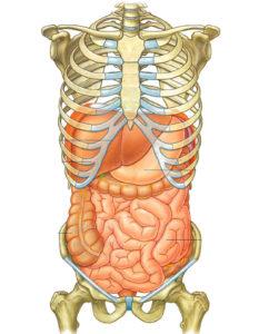 Treatment Viscérale Anatomie de l'Abdomen
