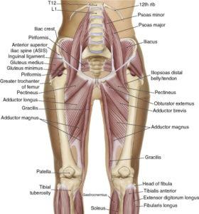 Groin anatomy pelvic pain