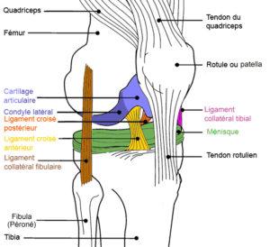 Ligament croisé antérieur Rupture pathologie et traitement